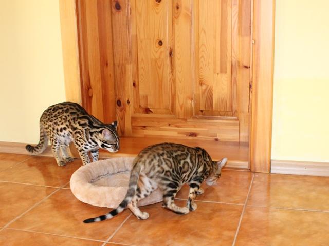Asian leopard domestic cat